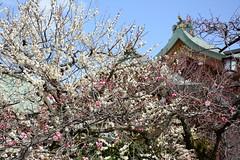 image (yhshangkuan) Tags: japan kyoto  ume  kitanotenmangu 2015 kitanotenmangushrine  plumblossomsinkitanotenmangushrine plumblossominkyoto