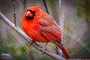 A fat cardinal (The Suss-Man (Mike)) Tags: bird nature animal georgia dof cardinal bokeh gainesville malecardinal hallcounty thesussman sonyalphadslra550 sussmanimaging