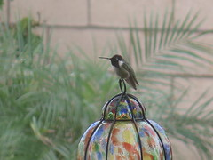 March 1, 2015 (1) (gaymay) Tags: california gay bird love happy hummingbird desert palmsprings triad