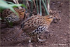 Two Partridges, No Pear Trees (James0806) Tags: washington districtofcolumbia nationalzoo partridges