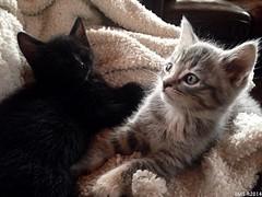 Kitten Delight (susanneschlotzhauer) Tags: kitten kittens cat cats feral rescue mama last litter
