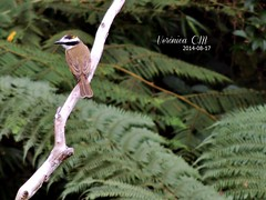 (Verônica C.M) Tags: bird lindo oi ich liebe passaro vogel olá schöner bentivi