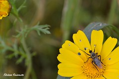 Αγία Κυριακή Μεσσηνίας (Eleanna Kounoupa) Tags: macro nature yellow closeup greece daisy ελλάδα φύση μαργαρίτα έντομα κίτρινο dipterous δίπτερα
