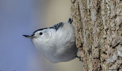 White-breasted Nuthatch (Summerside90) Tags: winter snow ontario canada nature birds wildlife january whitebreastednuthatch birdwatcher