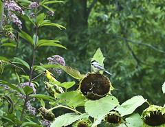 4708BBGb (preacher43) Tags: butterfly river mississippi garden goldfinch iowa american chickadee carolina bellevue