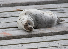 Harp Seal-2 (Ian L Winter) Tags: canada nature newfoundland stjohns countries seal mammals harbourseal quidividi