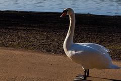 Roath Park 9th Feb 2015 105 (jasondunn2014) Tags: blue white lake bird water beautiful birds proud canon swan royal waterbird 7d graceful