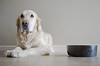 p365/58. (Pics by Susanna) Tags: dog pet goldenretriever golden floor feeding bowl hungry dogbowl gundog bagging dogportrait ratseyeview dogeyes englishcream creamgoldenretriever