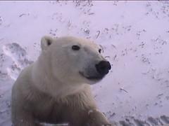 Polar Bear Staring