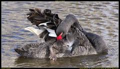 ND6_8574 (charlesvanlangeveld) Tags: black swan nederland swans zwart zwaan moordrecht zwanen photou