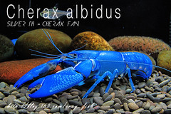 Cherax albidus-Blue Pearl Yabby (Silver th - Cherax Fan) Tags: crayfish cray freshwater crays bluecrayfish cherax cheraxalbidus bluepearlyabby