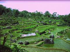 Rice Paddies in Toraja