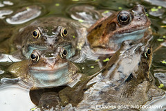 Four eyes (Alexandra Bone Photography) Tags: reflection green swim jump pond eyes weed photographer norfolk amphibian frog alexandra frogs norwich bone hop spawn kermit pondweed frogspawn alexandrabonephotography wwwalexandrabonecouk