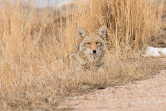Female coyote relaxes in the grass