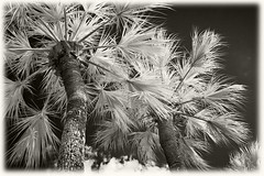 Sabal Palms (hamsiksa) Tags: county trees digital palms landscape florida tropical vegetation infrared dreamlike subtropical deland sabal volusia infraredphotography canon60d