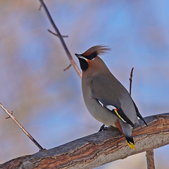 Bohemian Waxwing 022715 (SteveJnerChicago) Tags: bird nature birds wildlife sony bombycillagarrulus bohemianwaxwing sal30028g ilca77m2