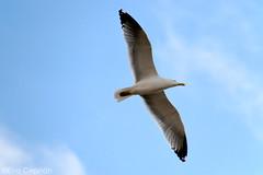 Y volar... - And fly... (Eva Ceprin) Tags: blue sky seagulls azul fly seagull aves cielo gaviotas gaviota vuelo nikond3100 tamron18270mmf3563diiivcpzd evaceprin