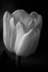 Tulip (Explored) (mellting) Tags: plant monochrome nikon flickr sweden tulip sverige flowr eskilstuna platser tulipa tulpan 500px sigma70300456 bloggad nikond7000 mellting matsellting
