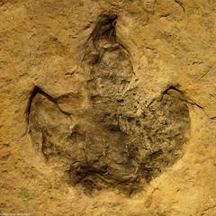 Dinosaur footprints - Dinosaurierspuren - Orma Dinosauro - (andriani manrico) Tags: dinosaur footprints dinosauro orma  dinosaurierspuren