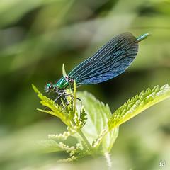 allez la bleue ! (flo73400) Tags: macro dragonfly bleu libellule saleté pouriture maisnonjelaipasdit jepeuxplusteblairer tucommenceàmelescasser