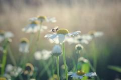 """you're in my  spot"" / flowery meadow (Bilderwense) Tags: natur nature colors colours colorful colourful dof depthoffield tiefenunschärfe tiefenschärfe outdoor nikkor 50mm f18 nikon d5000 bokehrama bokeh smooth soft bokehlicious makro macro macrodreams macromonday schärfentiefe pflanze verschwommen blüte yellow blume macromondays gegenlicht flies fliegen buzzing buzz shallowdepth summer sommer sunny"