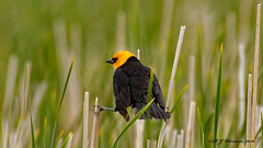Yellow-Headed-Blackbird-v2 (Aria (RJWarren)) Tags: nature wildlife bird yellowheadedblackbird xanthocephalusxanthocephalus midwest iowa dunbarslough canon t3i tamron150600mm grass