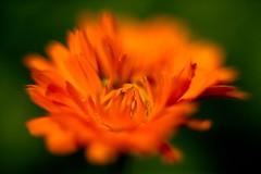 Orange Flower 11 Macro f1.2 (dennisgg2002) Tags: towerhillbotanicalgardenboylston massachusetts flowers vintage lens wide open