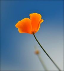 Up and Up (Edinburgh Photography) Tags: nature outdoors flower poppy orange water leith nikon d7000