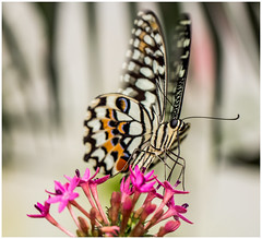 Swallowtail butterfly... (kevingrieve610) Tags: swallowtail natural history museum sensational butterflies exhibtion 760d canon summer 2016 london city colourful wow