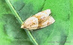 Garden Tortrix - Hodges#3688 (Clepsis peritana)  (July 26, 2016) (2 of 6) (Andre Reno Sanborn) Tags: clepsisperitana gardentortrix gardentortrixhodges3688clepsisperitana hodges3688 barton vermont unitedstates