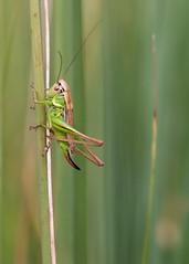 *** (Verlgof) Tags: macro summer insect grasshopper