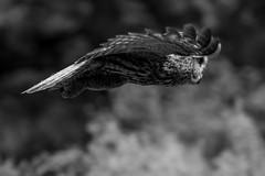Great Gray Fly By (OwlPurist) Tags: greatgrayowlstrixnebulosa bif flight blackandwhite oregon