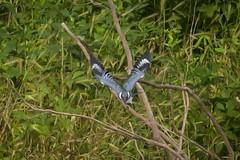 BELTED KINGFISHER (nsxbirder) Tags: indiana brookville beltedkingfisher whitewaterriver megacerylealcyon leveerdbrookville