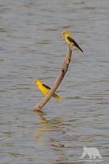 Golden Oriols (fascinationwildlife) Tags: animal bird oriol pirol wild wildlife nature natur summer lake india ranthambhore national park branch