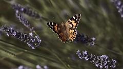Lavendelduft (johannamoser2016) Tags: flower nature butterfly lavender dephtoffield