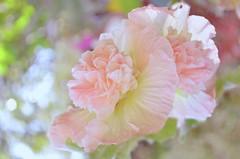Colorful flower bokeh (Key Word) Tags: pastell pink bokeh spots flower lights dream simple nature colorful garden blooms poetic warm macro