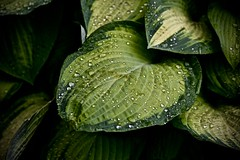 Hosta in the rain - Cantigny Wheaton IL (Meridith112) Tags: hosta green leaf leaves raindrop rain raindrops droplets droplet waterdrops water cantigny cantignygardens cantignypark mccormick mccormickscantignyhome mccormicksmansion mccormickshome amyirwinmccormick colonelrobertrmccormick wheaton dupagecounty il illinois midwest nikon nikond750 nikon105 summer june 2016 variegated texture pearls beads