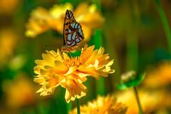 Pourquoi es-tu si belle? (- Ali Rankouhi) Tags: mellatpark iran tehran butterfly flower fleur tu es belle schmetterling mariposa papallona