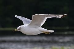 Seagull (Crunch53) Tags: seagulls bird nature birds outdoors scenery michigan seagull gulls