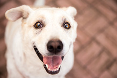 In a Dog's Eyes (adine-) Tags: red dog white eye love smiling yellow tongue puppy photography hawaii mixed eyes heaven paradise labrador sweet bricks canine maui breed canon6d