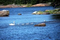 IMG_0249 (www.ilkkajukarainen.fi) Tags: sea swan poikue joutsen meri water seagul lokki ranta kallio suomi finland espoo scandinavia europa eu happy life