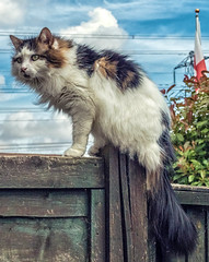 On the fence (Tilly the 3-legged cat) (Cross Process Effect) Olympus OM-D EM5II & Sigma DN 30mm f2.8 Prime (markdbaynham) Tags: cat feline tilly 3legged cute fence sigma dn 30mm f28 prime mft m43 m43rd olympus omd em5 em5ii csc mirrorless evil micro43 micro43rd