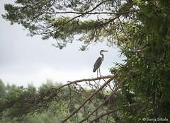 Grey Heron Salo Finland (sonjasiltala) Tags: heron pine finland grey ardea furu salo cinerea mnty harmaahaikara grhegre