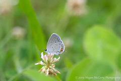 Eastern Tailed Blue (Cupido comyntas) (Megan E. McCarty) Tags: plant flower nature leaves fauna butterfly insect flora lepidoptera clover lycaenidae easterntailedblue lycaenid