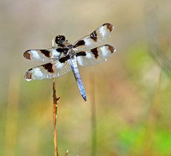 Twelve Spotted Skimmer (Stan in FL) Tags: old city lighthouse lake nature dragonflies dragonfly michigan traverse mission spotted twelve damselflies skimmer libellula odonata pulchella