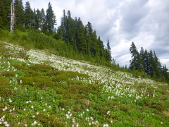 Avalanche Lilies 2 (Handforged) Tags: paradise mtrainier rainier mountrainier skylineloop skylinelooptrail skyline loop trail
