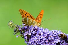 DSC_1911 (sylvette.T) Tags: butterfly orange nature 2016 silverwashedfritillary tabacdespagne kaisermantel nacarada empereur