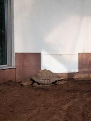 Die Schildkrte. / 24.07.2016 (ben.kaden) Tags: berlin tierparkberlin aldabrariesenschildkrte aldabrachelysgigantea aldabragianttortoise schildkrte tortoise 2016 24072016