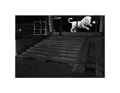 wild streets (Marek Pupk) Tags: central europe slovakia documentary street lion animal wild blackandwhite bw monochrome film night