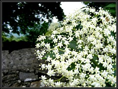 Elderflowers, time to get out The Recipe (Maewynia) Tags: celtica 2016 ireland cosligo june white flower elder